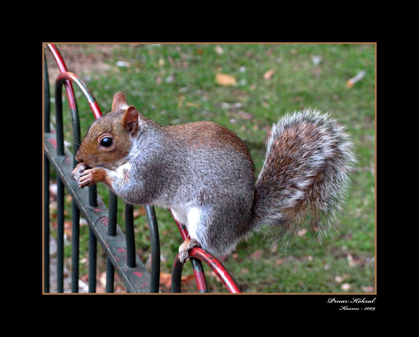 Minnoşum, St. James's Park, Londra, Kasım 2009
